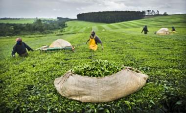 Labourers harvest tea, Kenya. Sven Torfinn/Panos Pictures